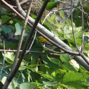 #143 Black-Throated Green Warbler