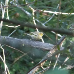#141 Cape May Warbler